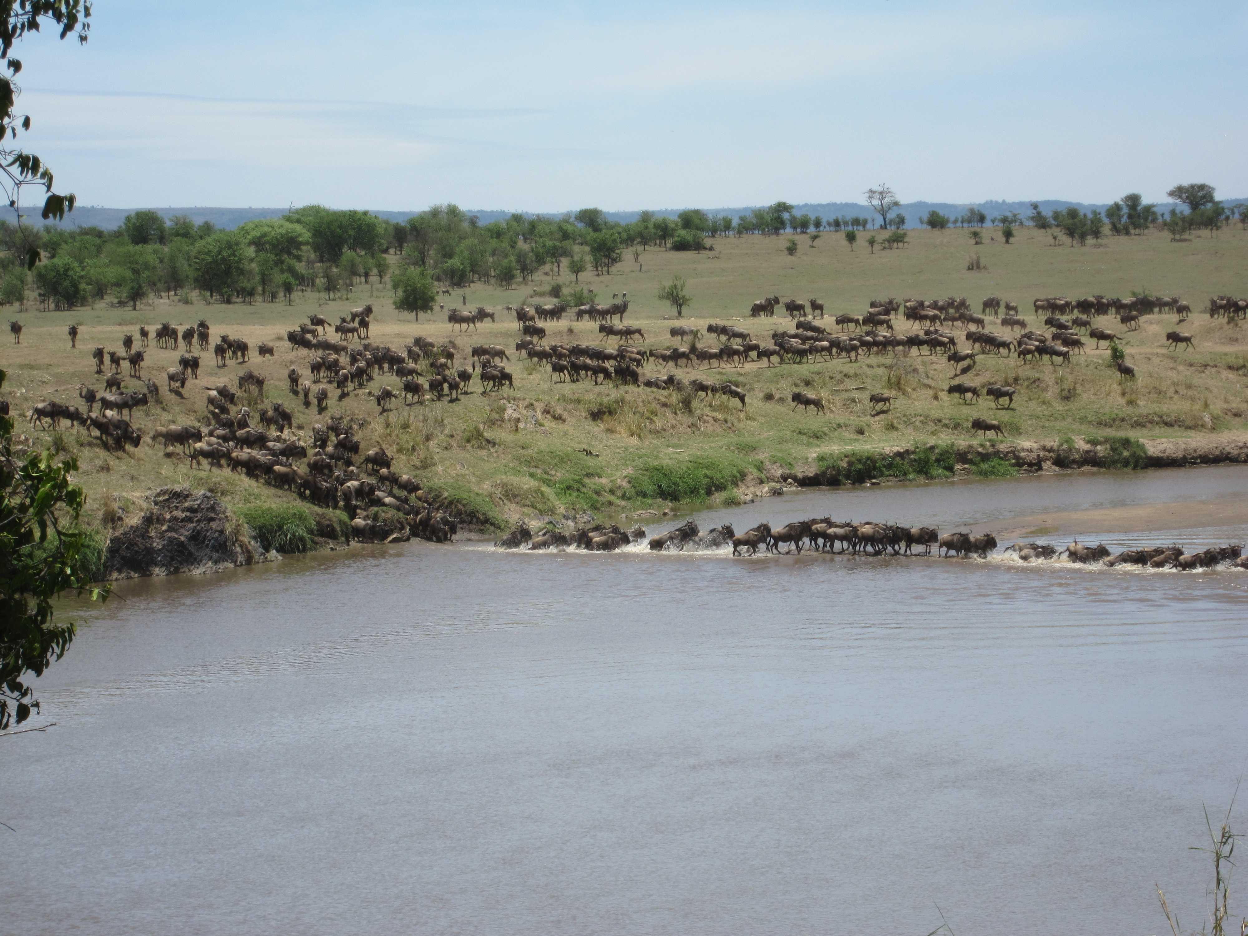 Wildebeest as far as they eye can see
